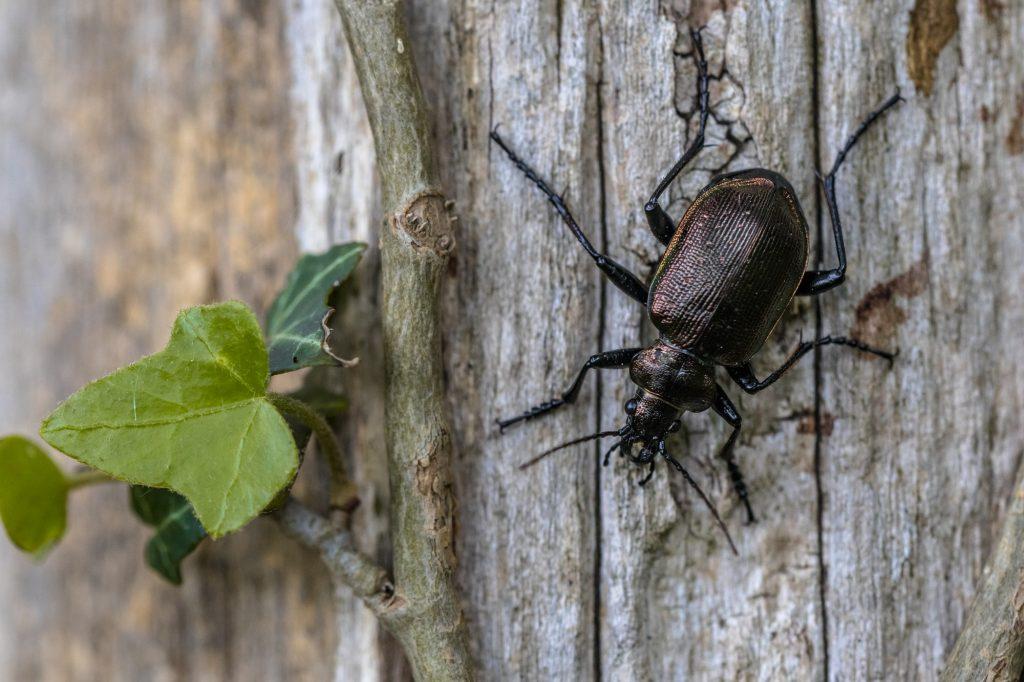 Lesser searcher beetle