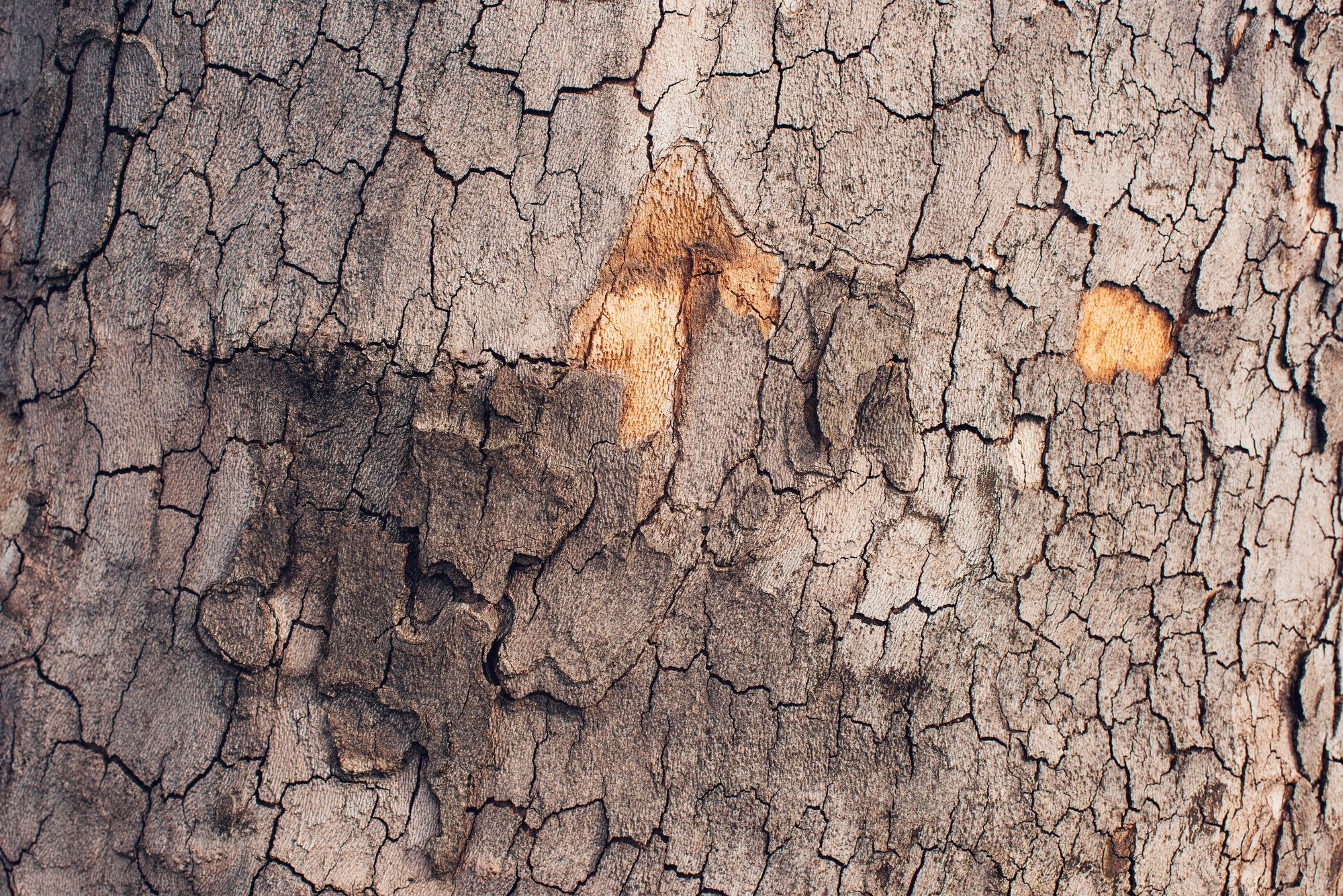 Maple tree bark crust